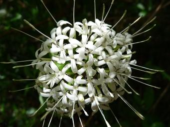 Pavetta, Pavetta australiensis