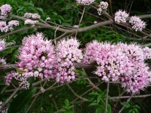 Pink Euodia, Melicope elleryana