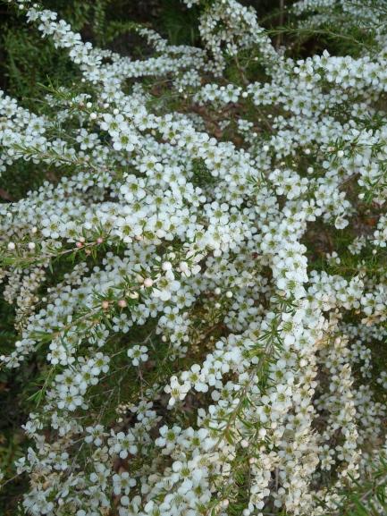 Wild May, Leptospermum polygalifolium