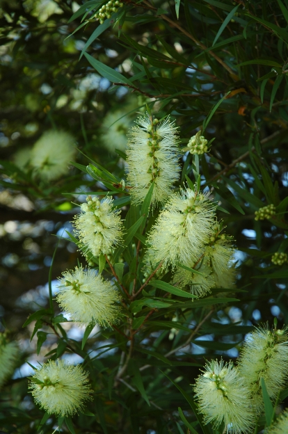 Willow Bottlebrush, Melaleuca saligna