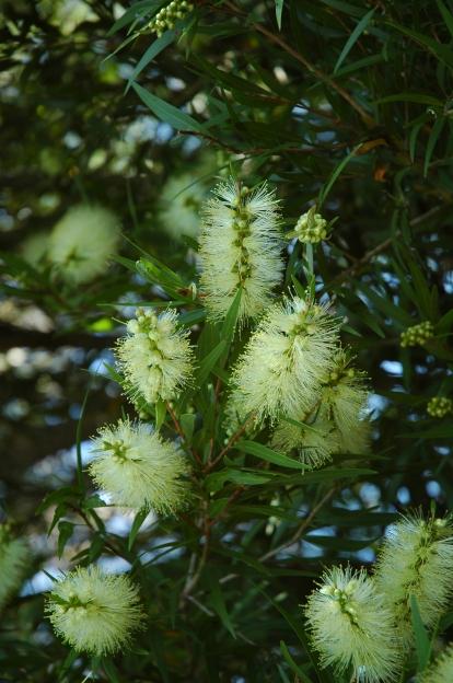 Willow Bottlebrush, Melaleuca saligna