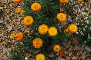 Xerochrysum bracteatum copy